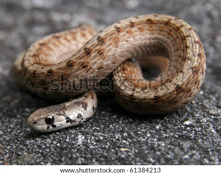 Northern Brown or DeKay's Snake (Storeria dekayi) - stock photo