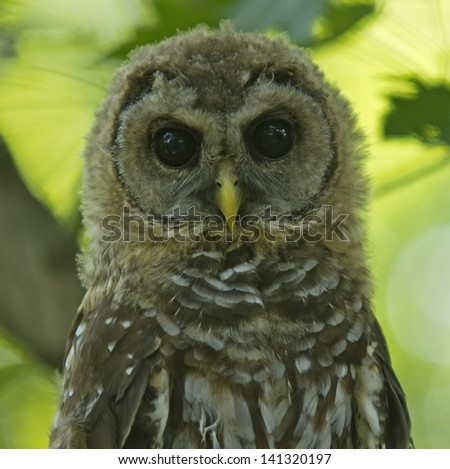 Northern Brown Spotted Owl Adolescent - stock photo