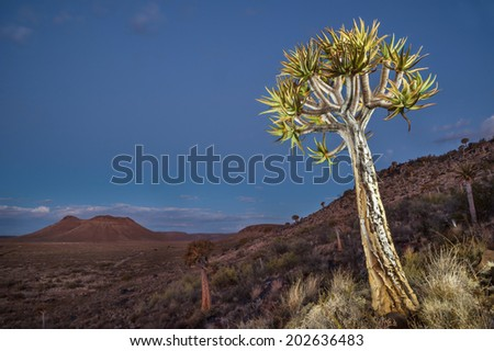 Northern Cape quiver tree - stock photo