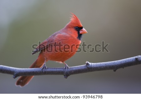 Northern Cardinal (Cardinalis cardinalis cardinalis), Common subspecies, male in perfect bright red plumage on branch in Winter. - stock photo