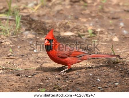 Northern Cardinal (male) - stock photo