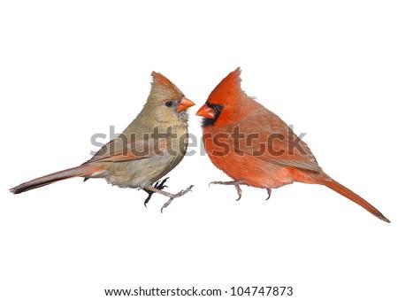 Northern Cardinal, male and female, couple. Latin name - Cardinalis cardinalis. Isolated. Focus on the birds! - stock photo