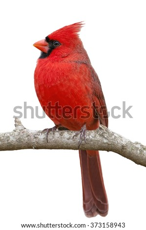 Northern Cardinal on White Background - stock photo