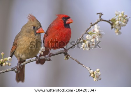 Northern Cardinal Pair on Flowering Pear Branch - stock photo