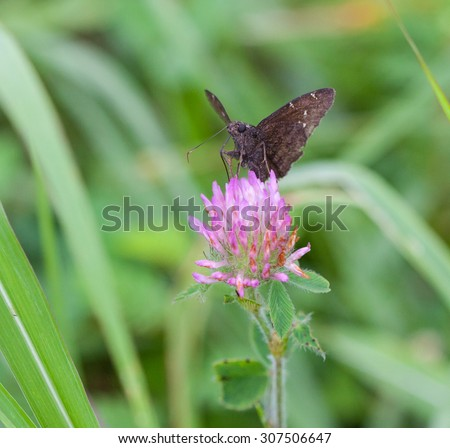 Northern Cloudywing Skipper (Thorybes pylades) on Red Clover - stock photo