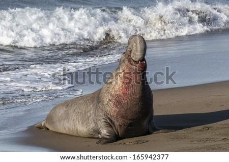Northern Elephant Seal - adult male Mirounga angustirostris California, USA - stock photo