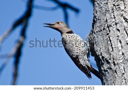 Northern Flicker Calling From Tree - stock photo