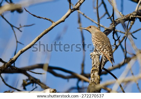 Northern Flicker Perched on a Branch in a Tree - stock photo