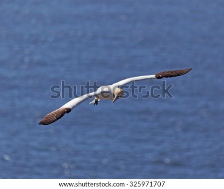 Northern gannet in flight. - stock photo