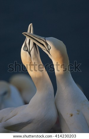Northern gannet in love - stock photo