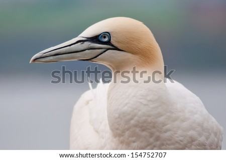 Northern gannet (Morus bassanus) - stock photo