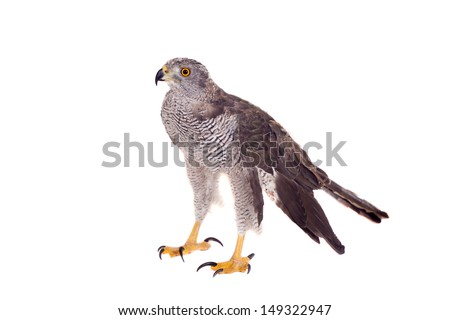 Northern goshawk (Accipiter gentilis) on white - stock photo