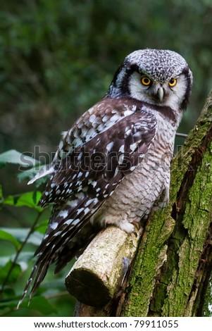 Northern Hawk Owl - stock photo