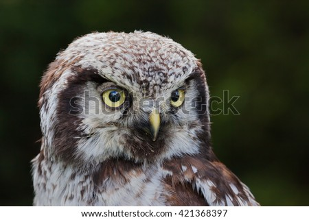 Northern Hawk Owl close up - A close up head and shoulders shot of a beautiful little northern hawk owl. - stock photo