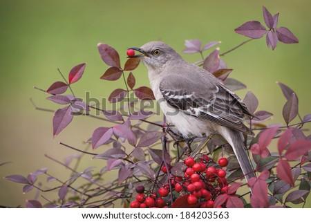 Northern Mockingbird in Nandina - stock photo