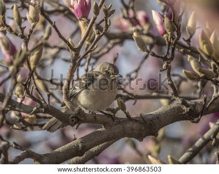 northern mockingbird,Mimus polyglottos, is the only mockingbird commonly found in North America - stock photo
