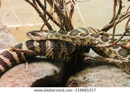 Northern Pacific Rattlesnake  Crotalus oreganus rattle snake - stock photo
