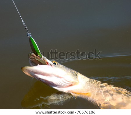 northern pike pecked on a spoon lure - stock photo