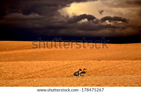 Northern Pintail pair out walking in Saskatchewan with storm approaching - stock photo