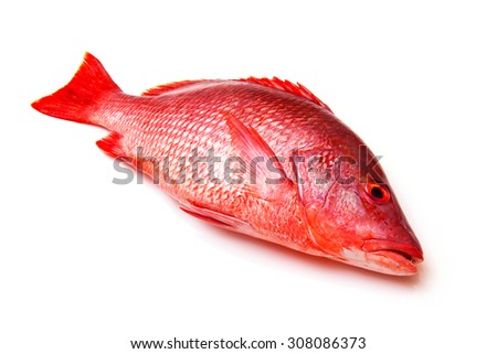Northern Red Snapper fish Lutjanus campechanusfish isolated on a white background. - stock photo