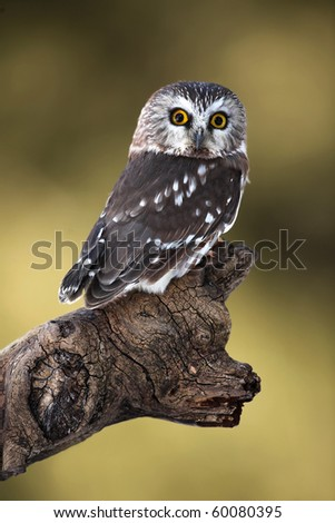 Northern Saw-Whet Owl perched on an interesting branch. - stock photo