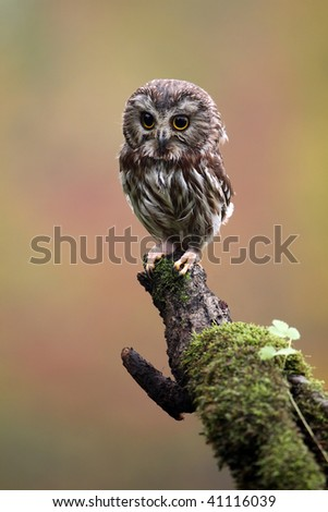 Northern Saw-Whet Owl perching on a mossy branch. - stock photo