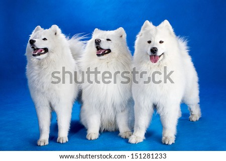 Northern sled dog in the background. - stock photo