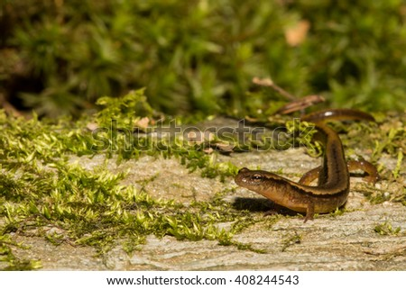 Northern Two-lined Salamander - stock photo