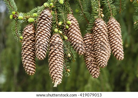 Norway spruce tree with green buds and cones, Picea abies - stock photo
