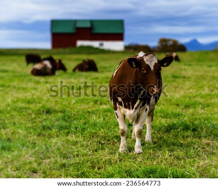 Norwegian cow on the field - stock photo