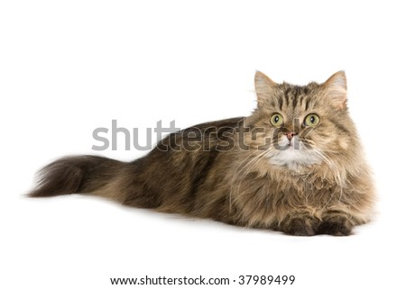 Norwegian domestic cat lies and looking up - stock photo