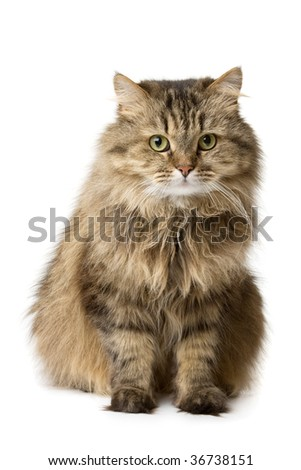 Norwegian domestic cat sits and watches - stock photo