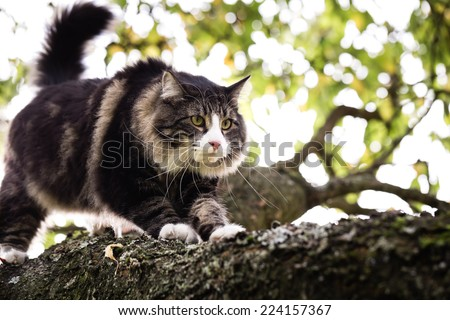 Norwegian forest cat hunting on the branch of tree. Unusual perspective. - stock photo