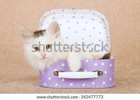 Norwegian Forest Cat kitten sitting inside miniature purple polka dot suitcase luggage on beige background - stock photo