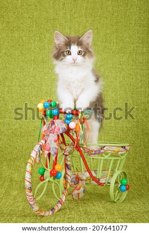 Norwegian Forest Cat kitten sitting inside tricycle cart decorated with ribbons bows and miniature balloons on green background  - stock photo