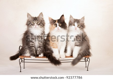 Norwegian Forest Cat kittens sitting on mini bench on painted cream canvas background - stock photo