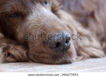 Nose and muzzle of a beautiful Irish Setter male - stock photo