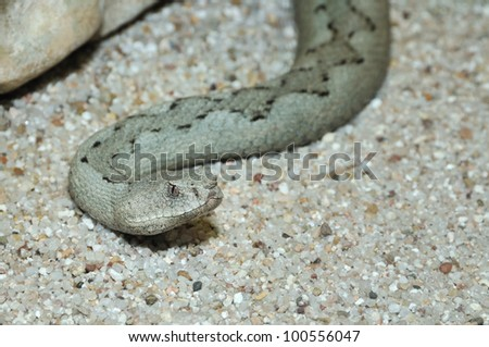 Nose-horned viper watching closely - stock photo
