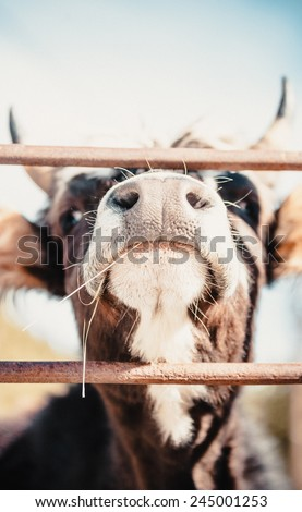 Nose of a black and white cow - stock photo