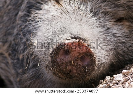 Nose of a cute furry mangalitsa pig - stock photo