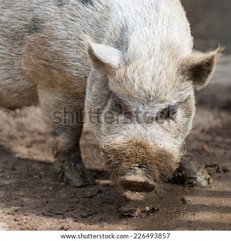 nose of dirty grey african swine standing on earth ground - stock photo