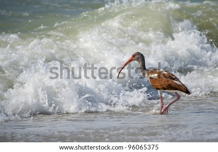Not Afraid of the Waves A brown ibis facing a big wave (it is big to the bird anyway) and shows no fear. - stock photo