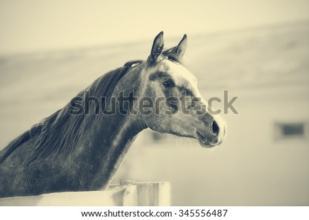Not color portrait of a sports thoroughbred stallion behind a protection. - stock photo