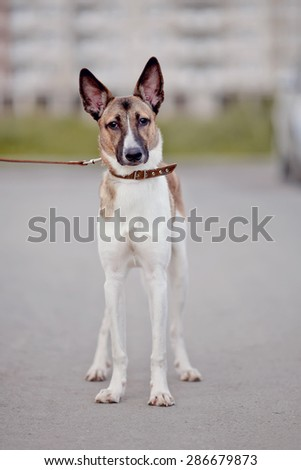 Not purebred domestic dog in a collar on walk. - stock photo