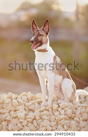 Not purebred domestic dog on walk sits on filling brick. - stock photo