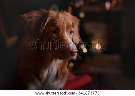 Nova Scotia Duck Tolling Retriever holiday, Christmas and New Year - stock photo