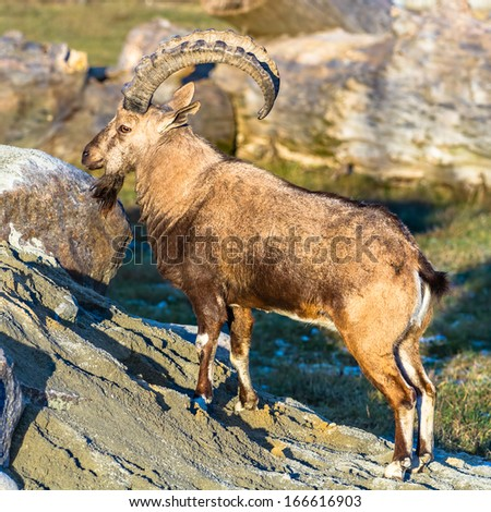 Nubian ibex (goat) standing on the sand - stock photo
