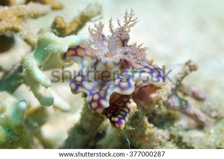 Nudibranch (Netted miamira/ Miamira sinuata (van Hasselt, 1824) [Previously known as Ceratosoma sinuata]) is sitting on a coral, Panglao, Philippines - stock photo