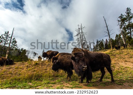 Numerous American Bison / Buffalo in Yellowstone National Park with cloudy sky - stock photo
