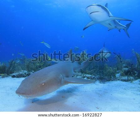 Nurse Shark and Reef Sharks - stock photo
